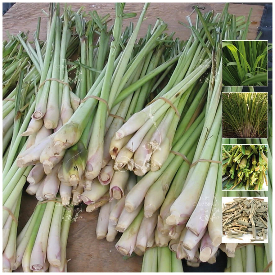 LEMONGRASS Herbal Stalker Seeds. Premium cooking & medicinal herb variety