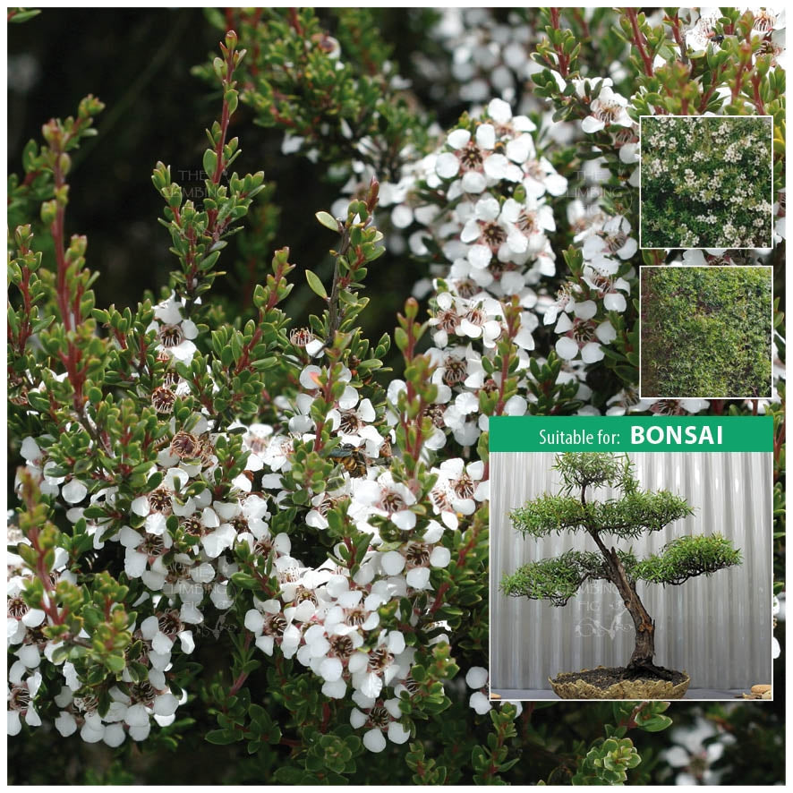 Leptospermum Citratum Lemon Scented Tea Tree Seeds