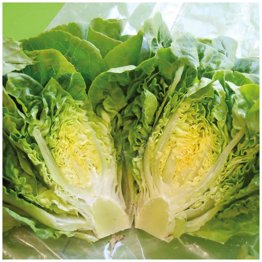 LETTUCE Little Gem Mini Cos Seeds. Ideal for Caesar Salads. Quick growing
