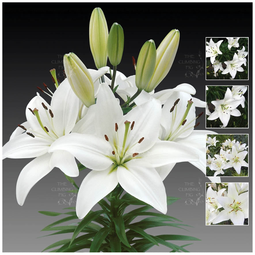 Lilium Hybrid White Asiatic Lily Seeds