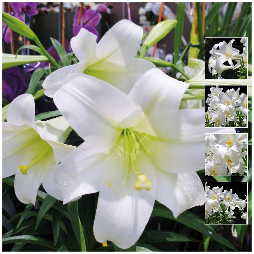Lilium Hybrid White Easter Christmas Lily Seeds