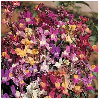 Linaria Izzy's Gemstone Orchid Seeds