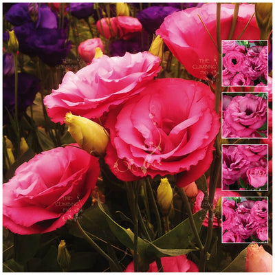 Lisianthus Adv Cherry Seeds