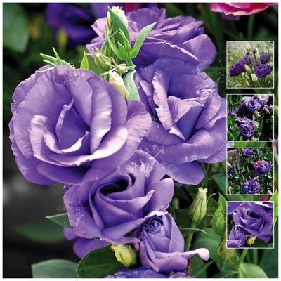 Lisianthus Blue Galaxy Seeds