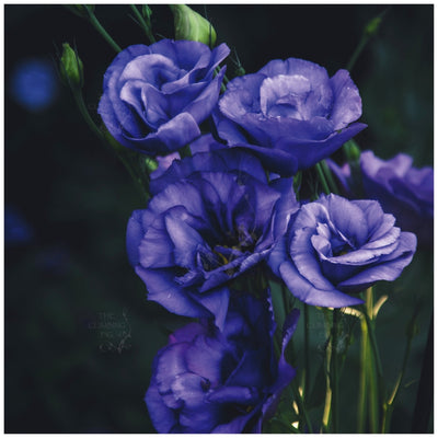 Lisianthus Blue Moon Yoru Seeds