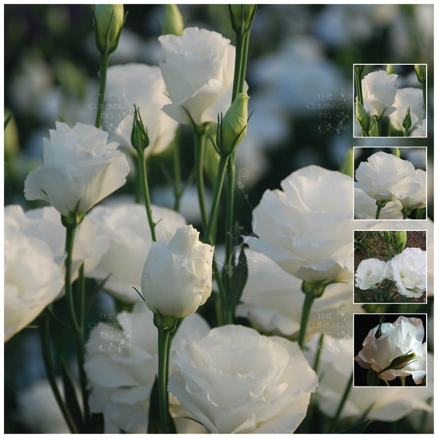 Lisianthus Bridal White Seeds