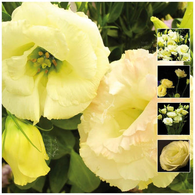 Lisianthus Mg Yellow Seeds