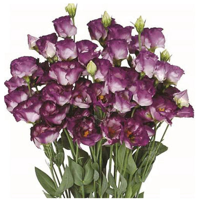 Lisianthus Purple Feather Seeds