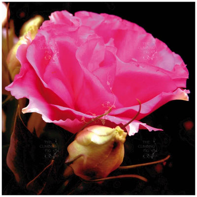 Lisianthus Royal Rose Seeds