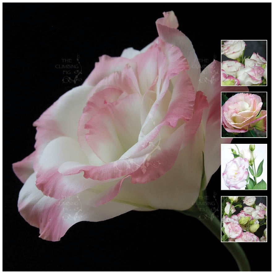 Lisianthus Touch Of Pink Seeds