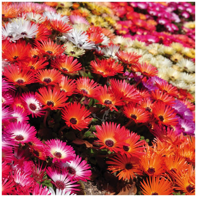Livingstone Daisy Neon Lights Seeds