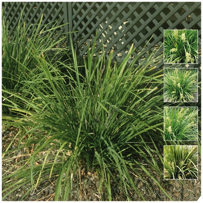 Lomandra Hystrix Green Submarine Seeds