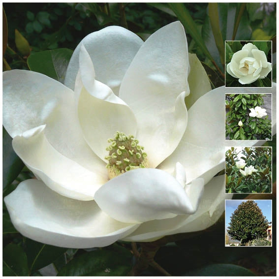 Magnolia Goliath Rose Seeds
