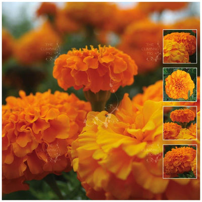 Marigold Compact Orange Seeds