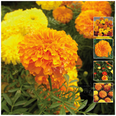 Marigold Dwarf French Seeds