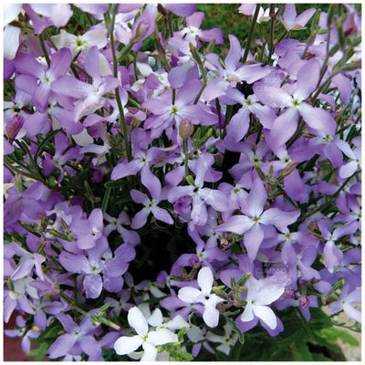 Matthiola Evening Scented Lilac Stock Seeds