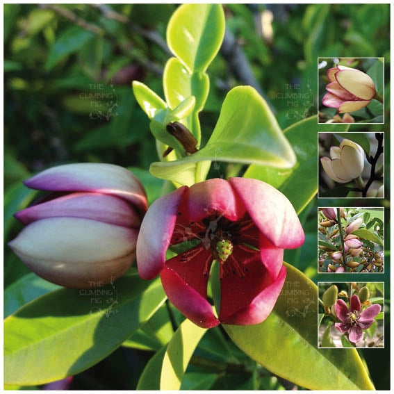 Michelia Figo Port Wine Magnolia Seeds