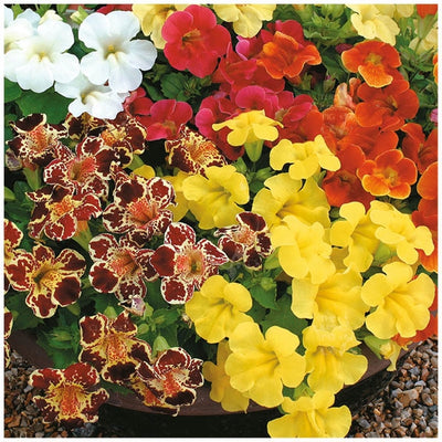 Mimulus Grandiflorus Mixed Seeds