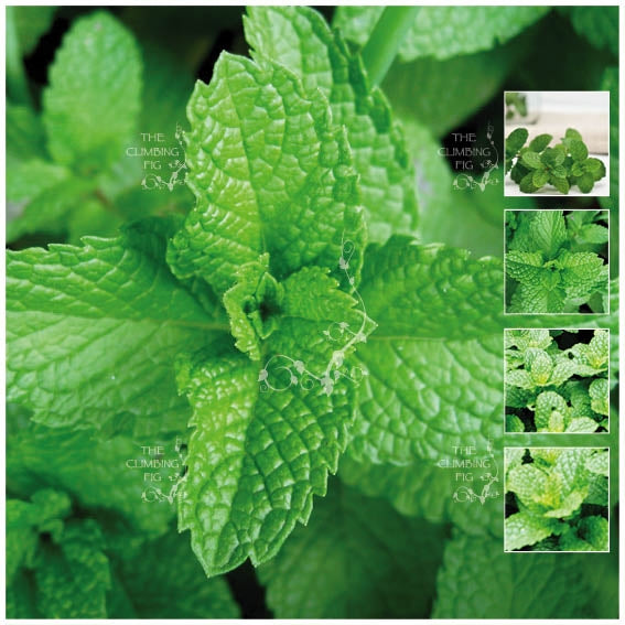 Mint Peppermint LXR Seeds