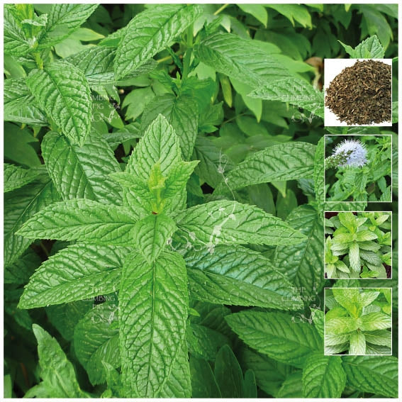 Mint Spearmint LXR Seeds