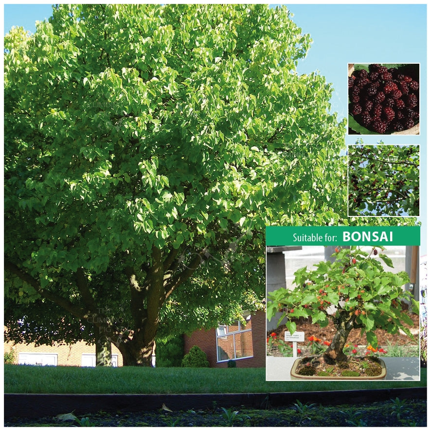 MORUS NIGRA Black Mulberry Seeds. Stunning tree for landscape or bonsai