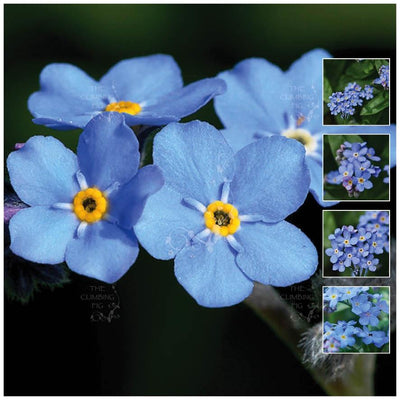 Myosotis Forget Me Not Blue Seeds