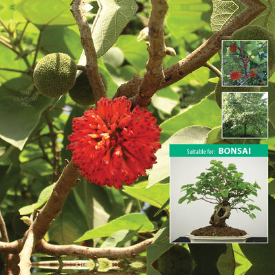 MORUS Papyrifera Ornamental Mulberry x50 Seeds. No mess (no fruit) Mulberry tree