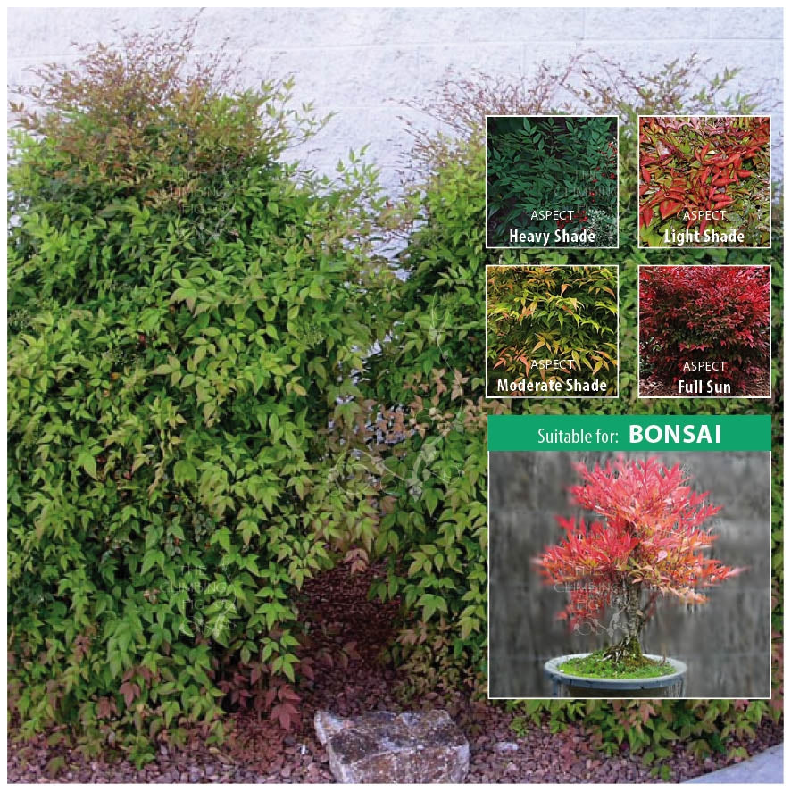 NANDINA DOMESTICA Sacred Zen Bamboo Seeds. Hedge shrub suitable for bonsai