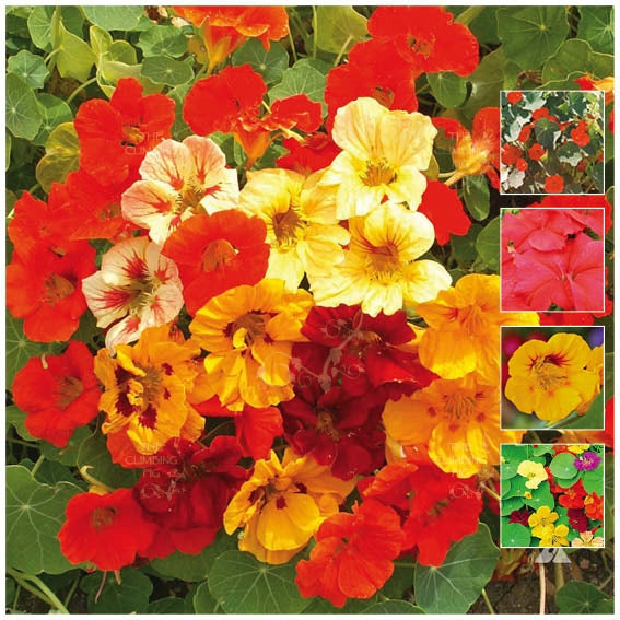 Nasturtium Jewel Mix Improved Seeds