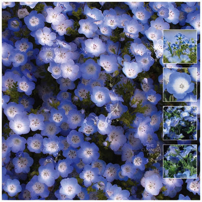 Nemophila Madagascar Blue Seeds