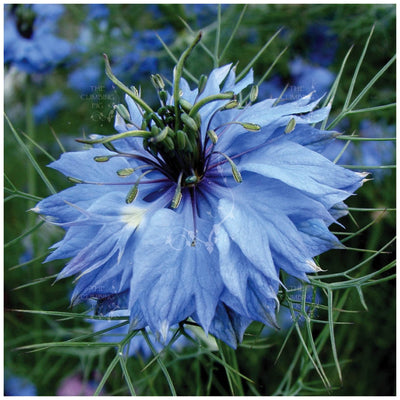 Nigella Miss Jekyll Blue Seeds