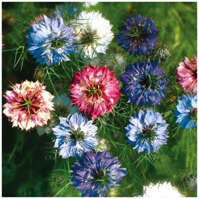 Nigella Persian Jewels Mix Seeds