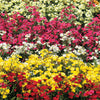 Nemesia Liberated Daydream Mix Seeds. Bright red, orange, pink, white flowers