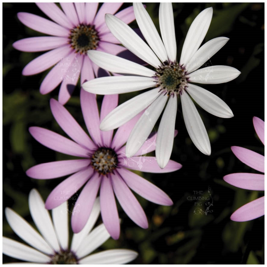 Osteospermum Lady Sara Mix Seeds