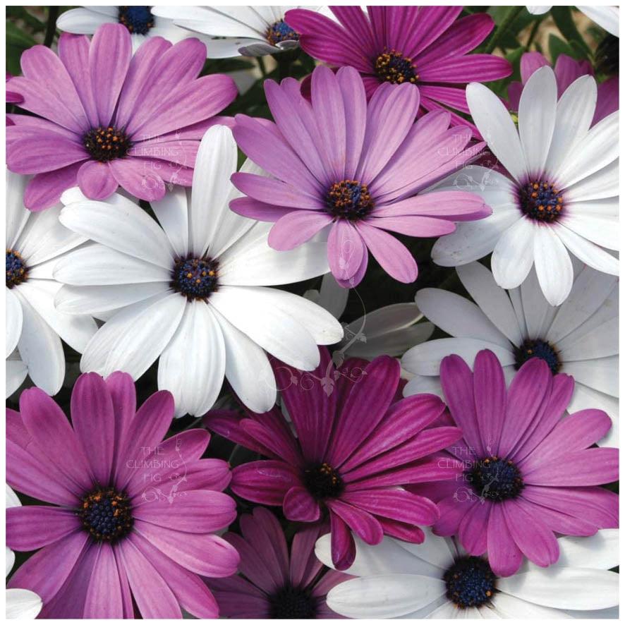 Osteospermum Passion Mix Seeds