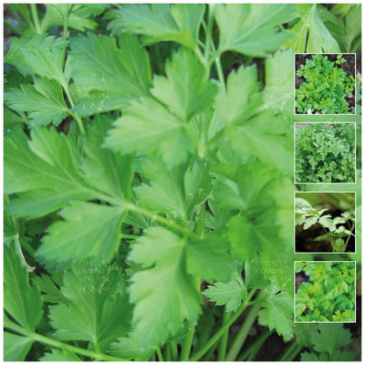 Parsley Italian Resilience Seeds
