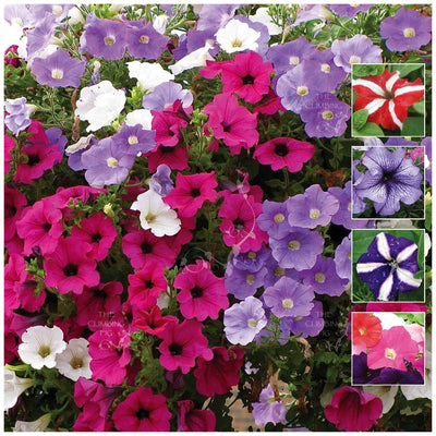 Petunia Happy Colours Seeds