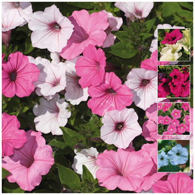 Petunia Multiflora Cherish Mix Seeds