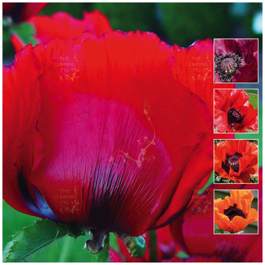 Poppy Oriental Red Velvet Rare Velvet Mix Seeds