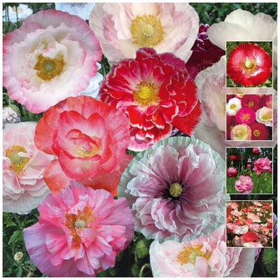Poppy Shirley Double Mix Seeds