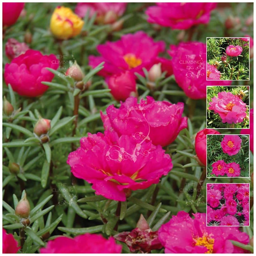 Portulaca Endless Summer Magenta Seeds