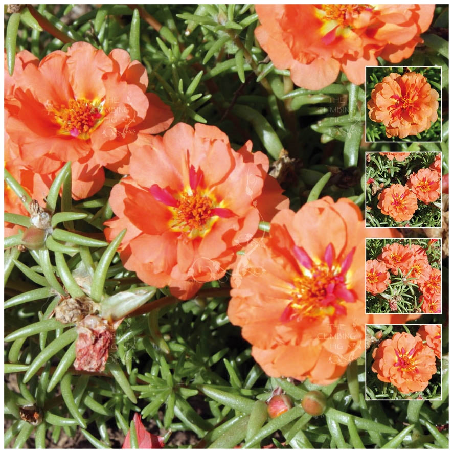 Portulaca Endless Summer Orange Seeds