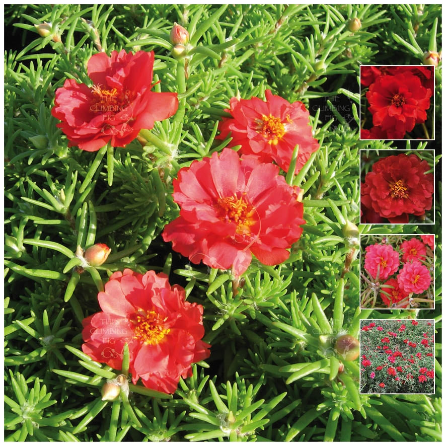 Portulaca Endless Summer Red Seeds