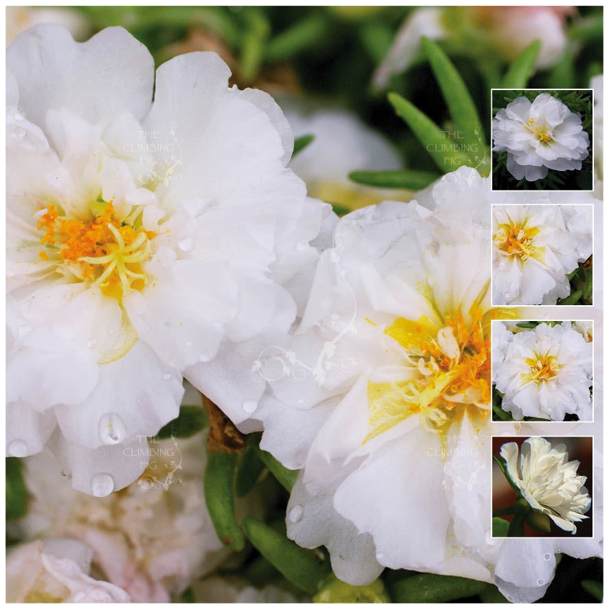Portulaca Endless Summer White Seeds