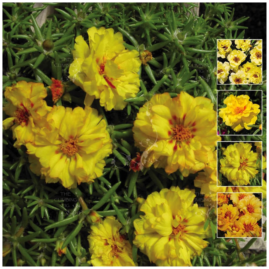 Portulaca Endless Summer Yellow Seeds
