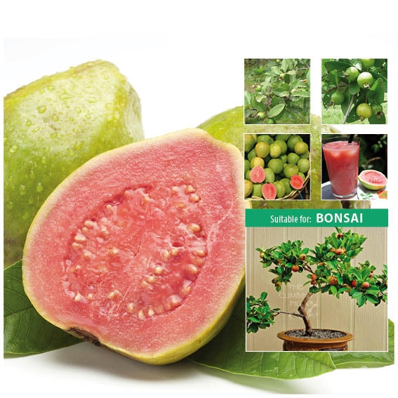 Psidium Pink Apple Guava Seeds