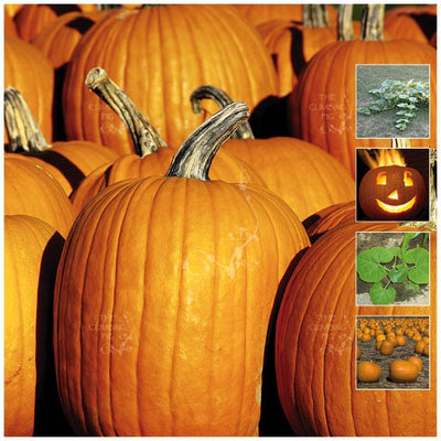 Pumpkin Halloween Orange Seeds
