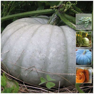 Pumpkin Queensland Blue Seeds