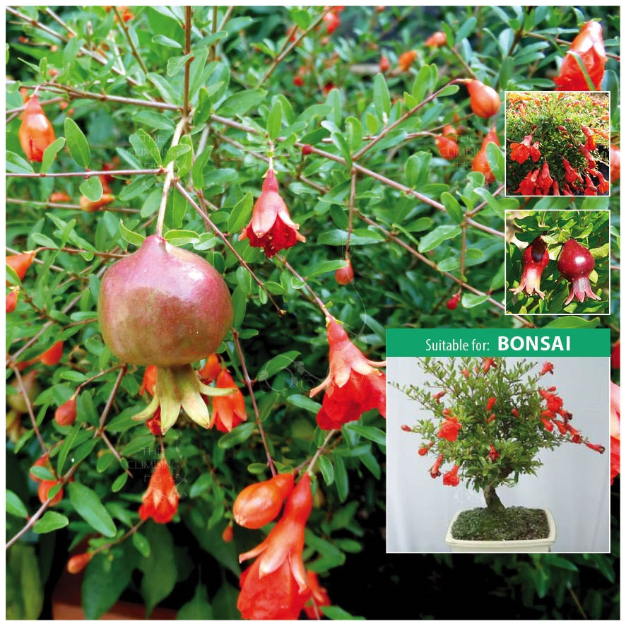 Punica Dwarf Pomegranate Seeds