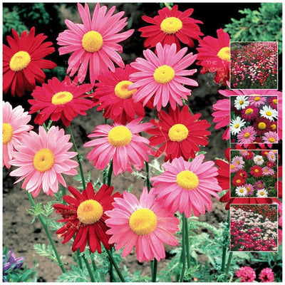 Pyrethrum Daisy Robinson's Giant Mix Seeds